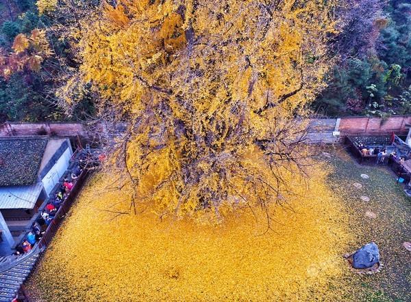 """Biển """"vàng"""" quanh cây ngân hạnh 1400 tuổi ở Trung Quốc - anh 3"""