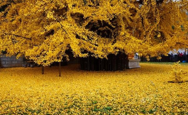 """Biển """"vàng"""" quanh cây ngân hạnh 1400 tuổi ở Trung Quốc - anh 4"""