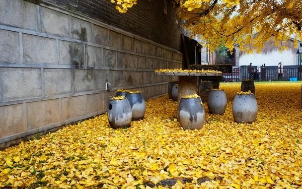 """Biển """"vàng"""" quanh cây ngân hạnh 1400 tuổi ở Trung Quốc - anh 5"""