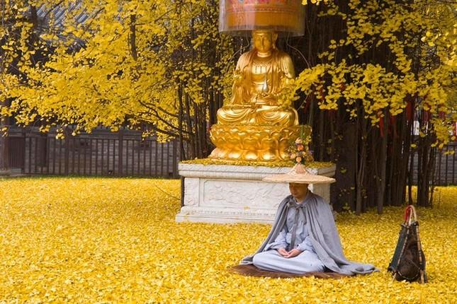 """Biển """"vàng"""" quanh cây ngân hạnh 1400 tuổi ở Trung Quốc - anh 6"""