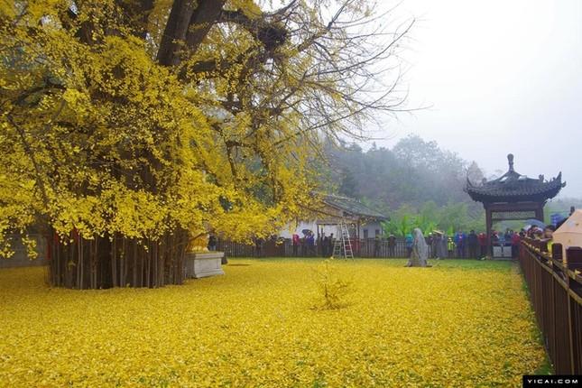 """Biển """"vàng"""" quanh cây ngân hạnh 1400 tuổi ở Trung Quốc - anh 7"""