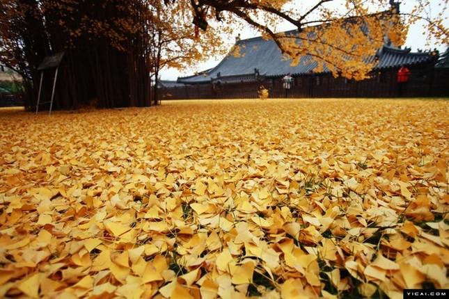 """Biển """"vàng"""" quanh cây ngân hạnh 1400 tuổi ở Trung Quốc - anh 8"""