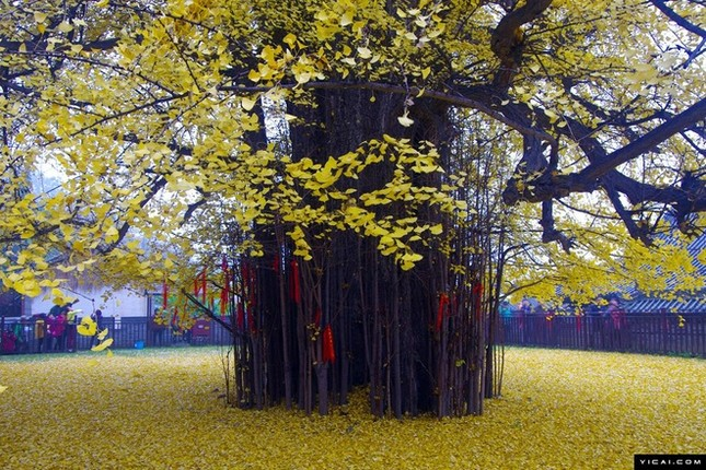 """Biển """"vàng"""" quanh cây ngân hạnh 1400 tuổi ở Trung Quốc - anh 9"""