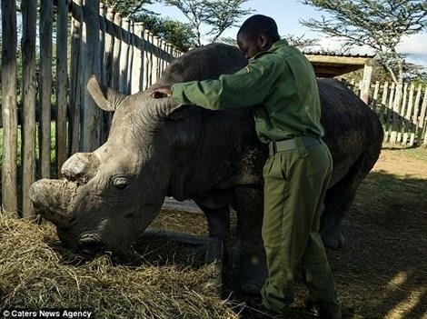 Các nhà khoa học làm gì để tránh nguy cơ tuyệt chủng của loài tê giác trắng? - anh 1