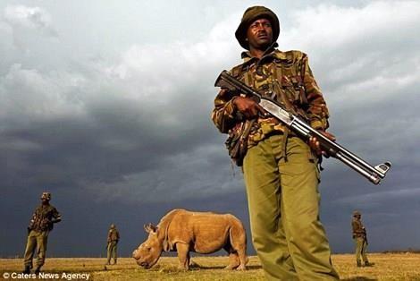 Các nhà khoa học làm gì để tránh nguy cơ tuyệt chủng của loài tê giác trắng? - anh 2