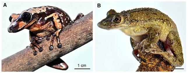 Phát hiện bất ngờ về hai loài ếch có nọc độc không tưởng có thể giết người - anh 1
