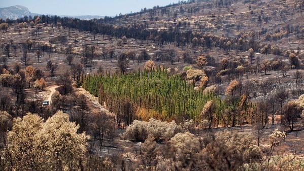 Bí ẩn về khả năng chống cháy của cây Bách Địa Trung Hải - anh 1