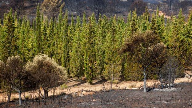 Bí ẩn về khả năng chống cháy của cây Bách Địa Trung Hải - anh 2