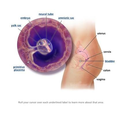 Các giai đoạn phát triển của thai nhi - anh 4