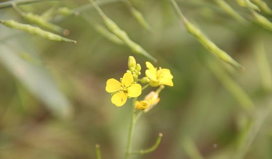Mê mẩn ngắm sắc hoa cải vàng rực rỡ đầu đông - anh 10