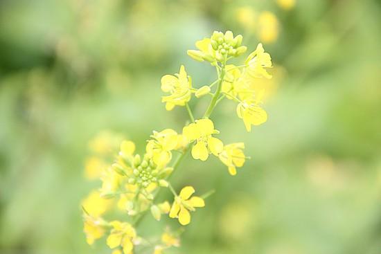 Mê mẩn ngắm sắc hoa cải vàng rực rỡ đầu đông - anh 5