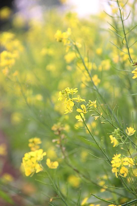 Mê mẩn ngắm sắc hoa cải vàng rực rỡ đầu đông - anh 6