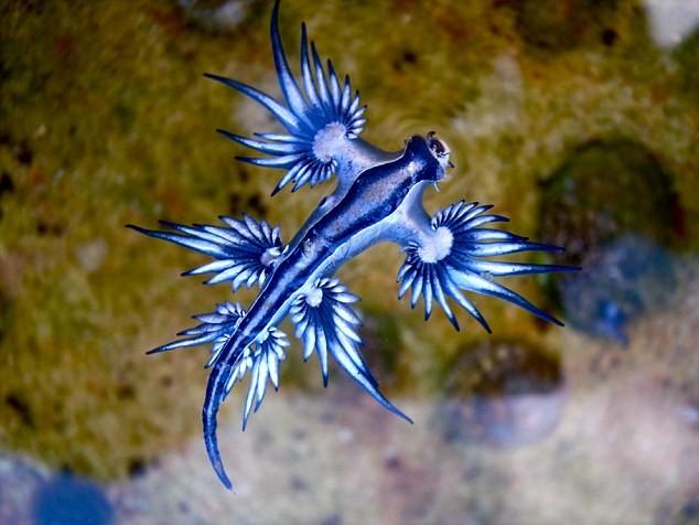 Phát hiện loài rồng xanh kỳ lạ trôi dạt vào bờ biển Australia - anh 1
