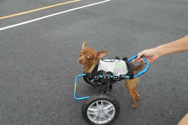 Gặp gỡ chú chó tật nguyền trở thành niềm cảm hứng cho nhiều người - anh 2