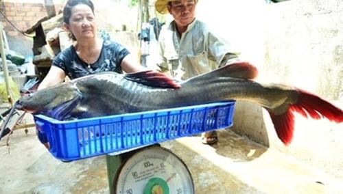 """Ngư dân câu được cá lăng """"khủng"""" dài 1m, nặng 20kg - anh 1"""