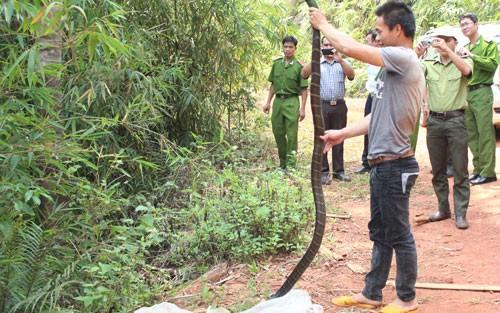 Đăk Nông: Rắn hổ mang chúa dài 3m cắn chết một phạm nhân - anh 1