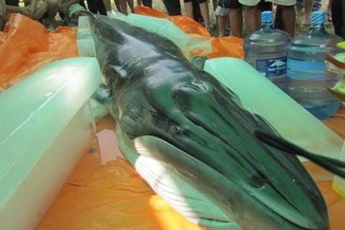 Cận cảnh xác cá voi nặng 500 kg dạt vào bờ biển ở Thanh Hoá - anh 1