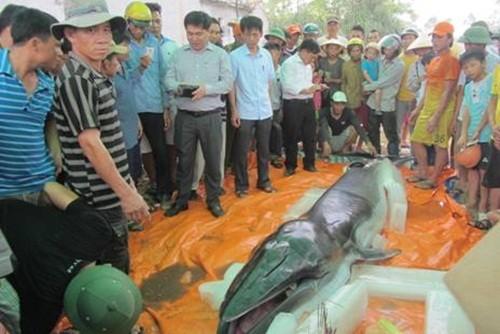 Cận cảnh xác cá voi nặng 500 kg dạt vào bờ biển ở Thanh Hoá - anh 2