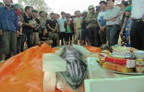 Cận cảnh xác cá voi nặng 500 kg dạt vào bờ biển ở Thanh Hoá - anh 3