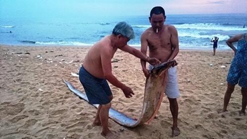 Quảng Bình: Phát hiện cá Mái chèo dài hơn 4m dạt vào bờ biển - anh 1