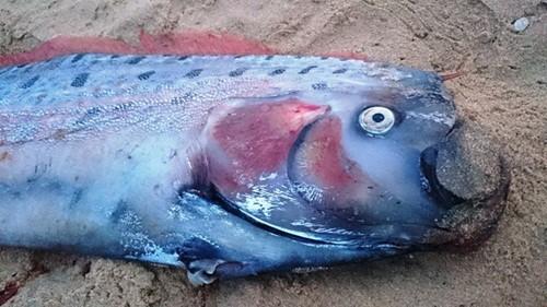 Quảng Bình: Phát hiện cá Mái chèo dài hơn 4m dạt vào bờ biển - anh 2