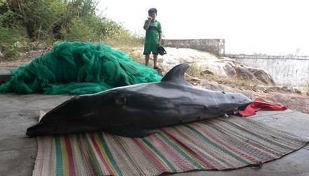 Phát hiện cá heo nặng hơn 1 tạ dạt vào bờ biển - anh 1