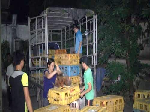 Phát hiện ô tô tải vận chuyển 300 con gà thịt lậu - anh 1