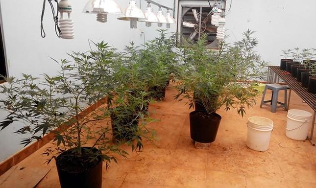 Cặp vợ chồng thuê nhà thành phố trồng 175 cây cần sa - anh 1