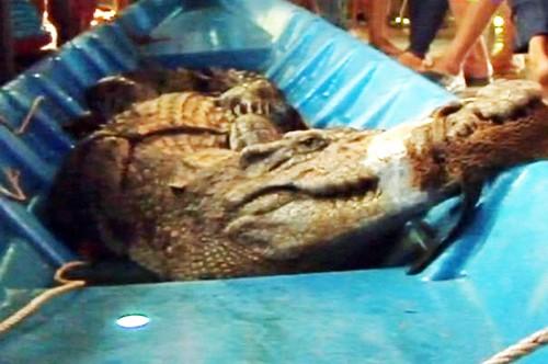 Phát hiện cá sấu hơn 50kg trong vuông tôm ở Cà Mau - anh 1