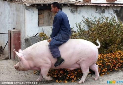 Người đàn ông cưỡi con lợn nái khổng lồ nặng 1.200kg đi quanh thôn - anh 1