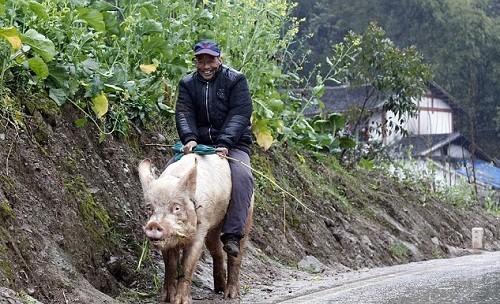 Người đàn ông cưỡi con lợn nái khổng lồ nặng 1.200kg đi quanh thôn - anh 2
