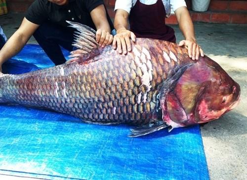 """Cận cảnh cặp cá hô """"khủng"""" nặng 240 kg - anh 1"""