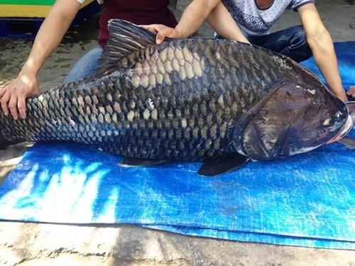 """Cận cảnh cặp cá hô """"khủng"""" nặng 240 kg - anh 2"""