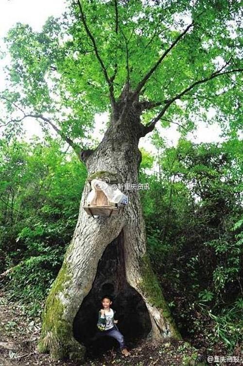 Giải mã bí ẩn cây cổ thụ dự báo thời tiết chuẩn xác - anh 1