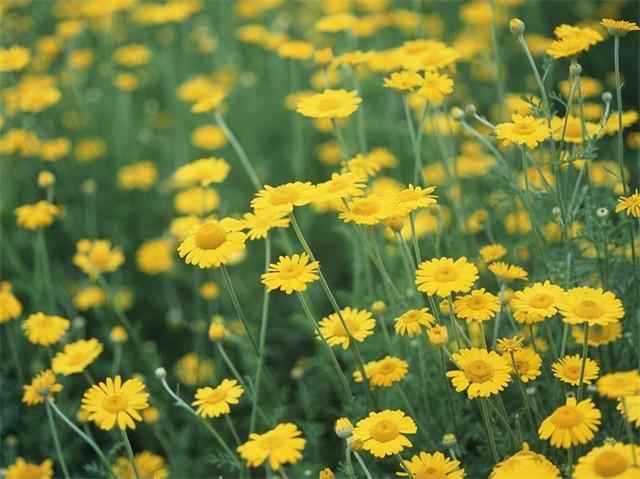 Tác dụng chữa bệnh tuyệt với ít biết từ hoa cúc vàng - anh 1