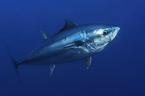 Top 10 loài động vật lớn nhất, nhanh nhất và 'sát thủ' nhất đại dương - anh 10