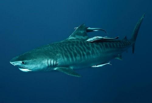 Top 10 loài động vật lớn nhất, nhanh nhất và 'sát thủ' nhất đại dương - anh 5