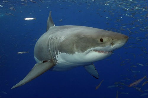 Top 10 loài động vật lớn nhất, nhanh nhất và 'sát thủ' nhất đại dương - anh 7