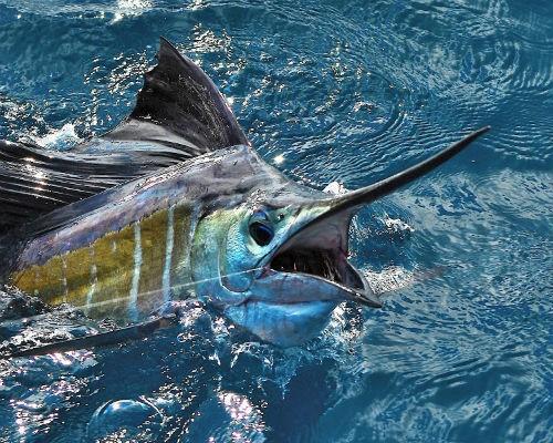 Top 10 loài động vật lớn nhất, nhanh nhất và 'sát thủ' nhất đại dương - anh 3