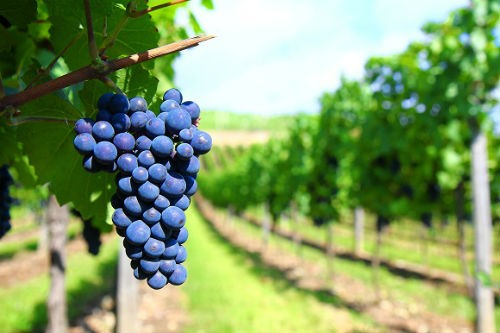 Ngắm vẻ quyến rũ 12 vùng sản xuất rượu vang trứ danh của Pháp - anh 12