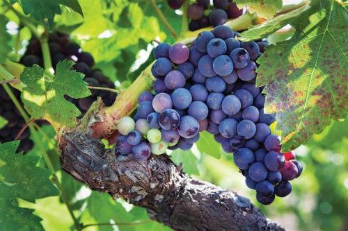 Ngắm vẻ quyến rũ 12 vùng sản xuất rượu vang trứ danh của Pháp - anh 14