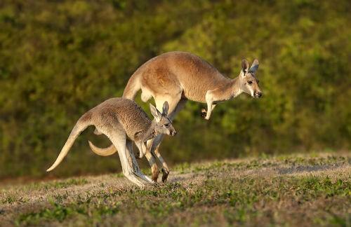 Khám phá 10 điều thú vị về chuột túi Kangaroo, biểu tượng của Australia xinh đẹp - anh 3