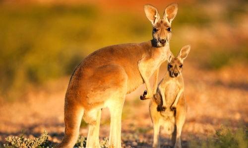 Khám phá 10 điều thú vị về chuột túi Kangaroo, biểu tượng của Australia xinh đẹp - anh 1