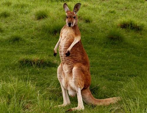 Khám phá 10 điều thú vị về chuột túi Kangaroo, biểu tượng của Australia xinh đẹp - anh 5