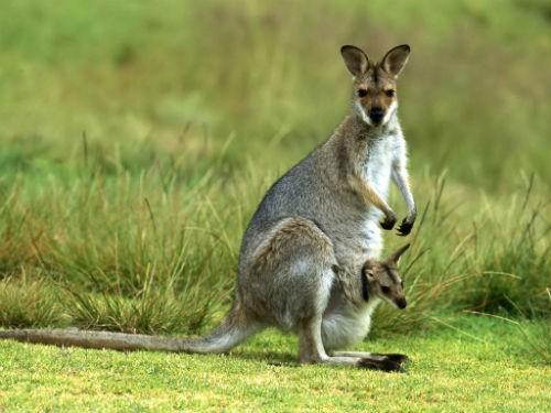 Khám phá 10 điều thú vị về chuột túi Kangaroo, biểu tượng của Australia xinh đẹp - anh 4