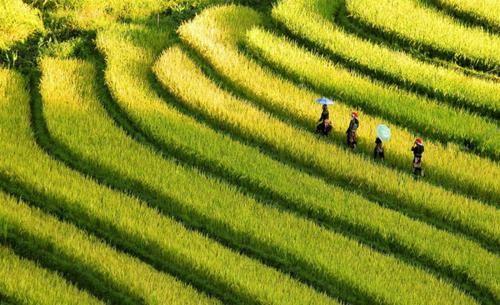 Vẻ đẹp ngút ngàn của các cánh đồng lúa trên toàn thế giới - anh 3