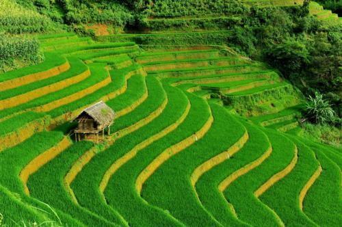 Vẻ đẹp ngút ngàn của các cánh đồng lúa trên toàn thế giới - anh 5