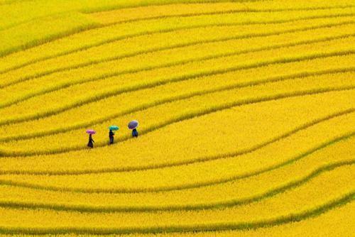 Vẻ đẹp ngút ngàn của các cánh đồng lúa trên toàn thế giới - anh 2