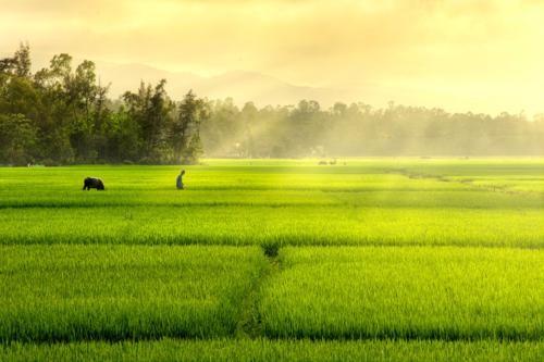 Vẻ đẹp ngút ngàn của các cánh đồng lúa trên toàn thế giới - anh 7