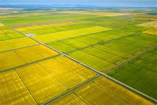 Vẻ đẹp ngút ngàn của các cánh đồng lúa trên toàn thế giới - anh 24